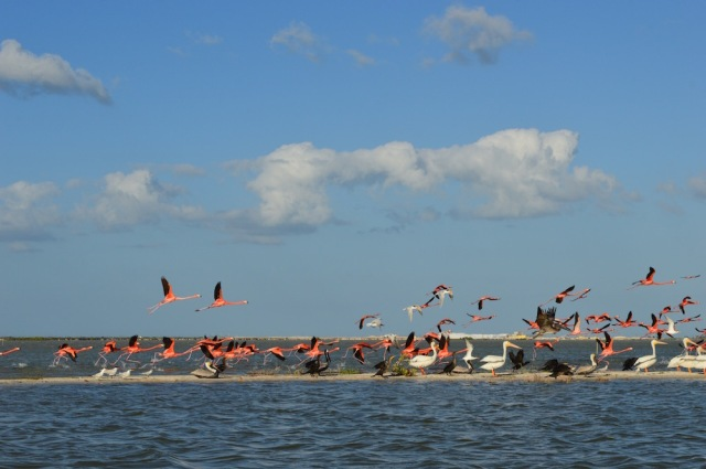 Flight of the Flamingos Rio Legartos February 2016