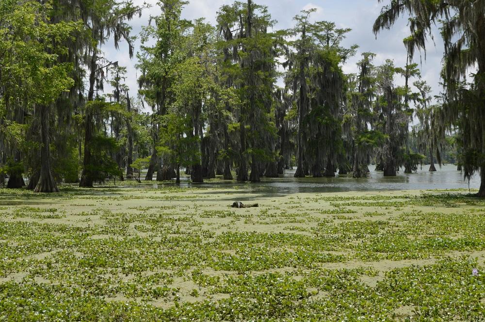 Alligator Louisiana May 2019